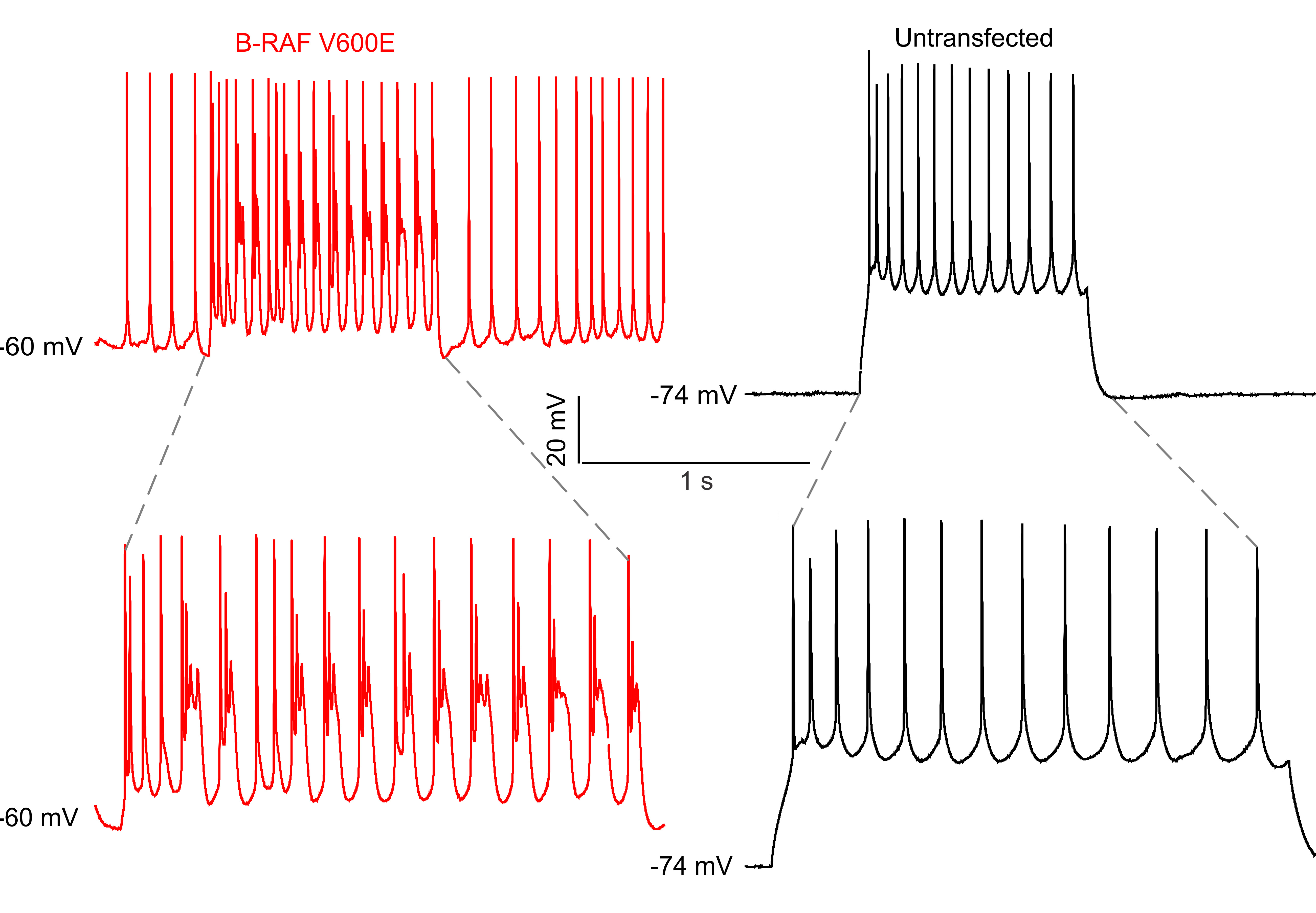 Image of Action Potentials in Control and BRAFV600E conditions.